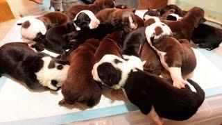 English bulldog gives birth to adorable litter of 16 PUPPIES