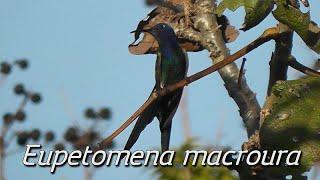 Canto do beija-flor-tesoura (Eupetomena macroura)