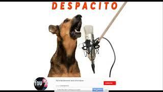 Luis fonsi   Despacito Dog version  Ringtone