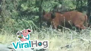 Rare Footage of a Grizzly Bear Attacking a Cow