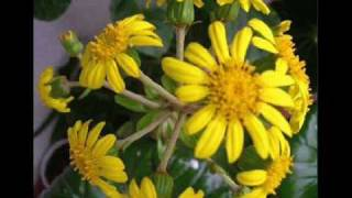 Flores Amarelas - Floribella ( Brasil ) / Floricienta