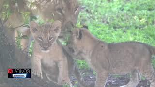 Presentarán a los nuevos leones de NAPLES ZOO