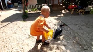 Vrana sedivka