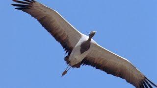 Golden Eagle Vs Demoiselle Crane -  Planet Earth - BBC Earth