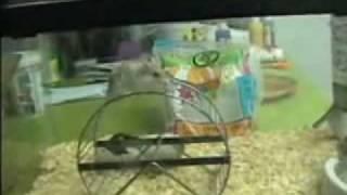 Hamster Tricks