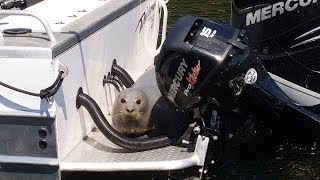 Seal Jumps on Boat to Avoid Killer Whales