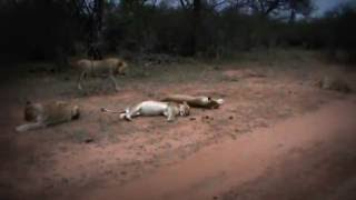 Leões - Sáfari Africa do Sul