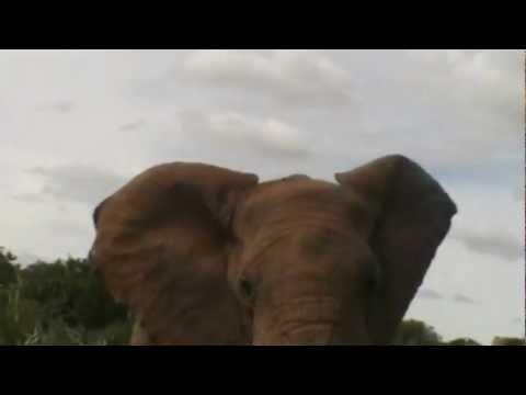 Elephant attack  Olifanten in Addo Zuid Afrika Elephants in South Africa Addo