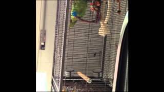 Papagaio Zeca - Quiriqui - Homens da Luta