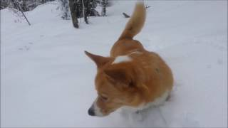 A Walk in the Snow with Leppo the Corgi