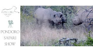 Rhino mother protect her calf