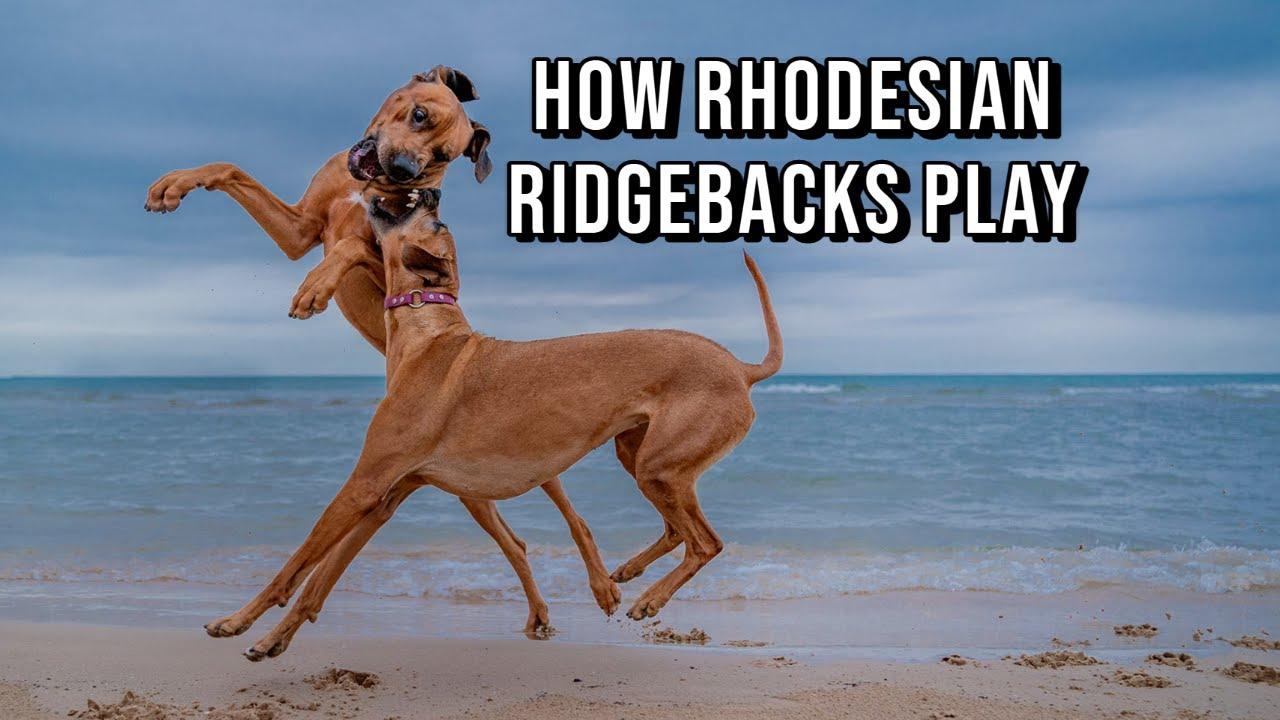 How Do Rhodesian Ridgebacks Play? Video Thumbnail