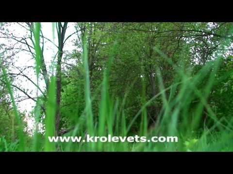 Спів птахів на Кролевеччині, ч.3. Birds singing in Krolevets. Part III – Кролевець