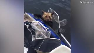 Fishermen rescue two wild brown bear cubs from drowning