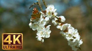 UHD Spring Flowers Scene - Flowers & Leaves. Episode 3 - Trailer