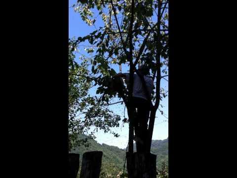karakovan balı ağaçtan alınma anı www.karagolbali.com