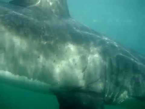 Great White Shark Dive #3