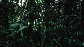 Early morning sounds of jungel, Papua New Guinea