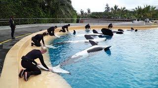 Alimentación de las Orcas