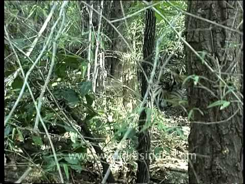 Tiger sits idly as our camera zooms in to take a closer look, India