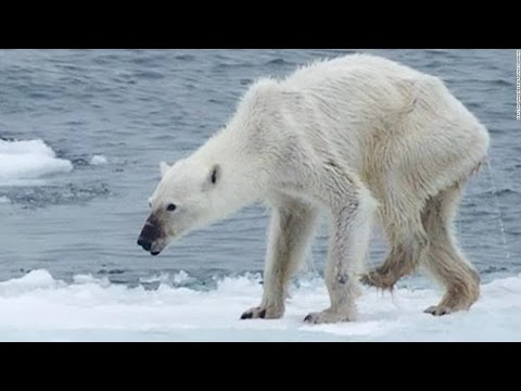 Polar Bear Dying From Global Warming - YouTube
