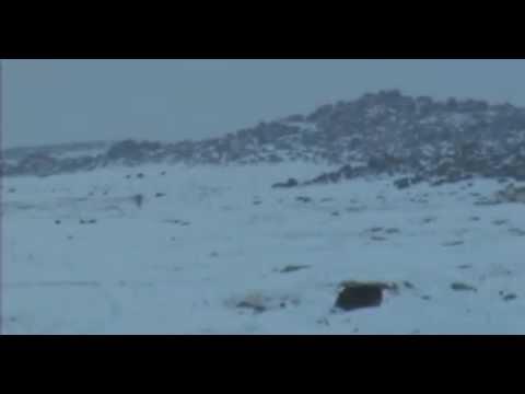 Yalnız Kurt ve Kangal / Dog vs Wolf