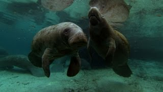 Watch this dedicated mummy manatee protect her baby!