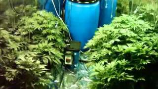 Marijuana Time Lapse  40 days in 33 seconds