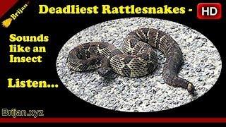 Deadliest Rattlesnake Sounds Like an Insect