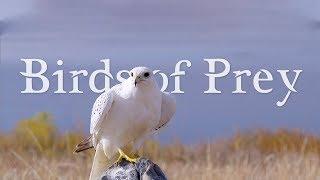 BIRDS OF PREY 4K (ULTRA HD) 60fps