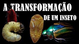 A TRANSFORMAÇÃO DE UM INSETO - METAMORFOSE
