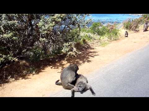 Baboons on the road near Capetown