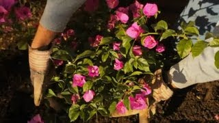 How Do I Plant Bougainvilleas? : Professional Gardening Tips