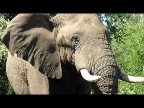Kruger National Park Bull Elephant vs Man & Metal
