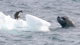 Watch a leopard seal let a baby penguin live!