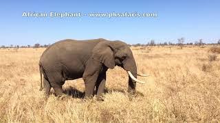 African Elephant Feeding Kruger National Park nice sounds