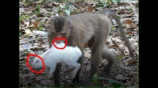 This monkey is playing with rabbits