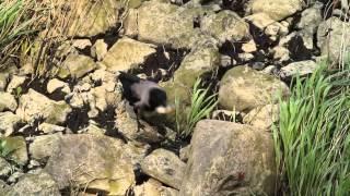 Vrána šedá na rybách