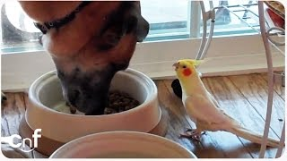 Bird Sings to Dog During Lunch   Meal Time Serenade