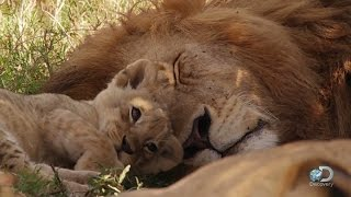 Watch baby lions playing