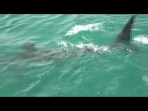 Mergulho com tubarões/Shark Diving – Gansbaai, África do Sul