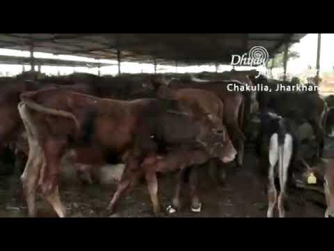 6000 bovines in chakuliya gaushala jarkhand