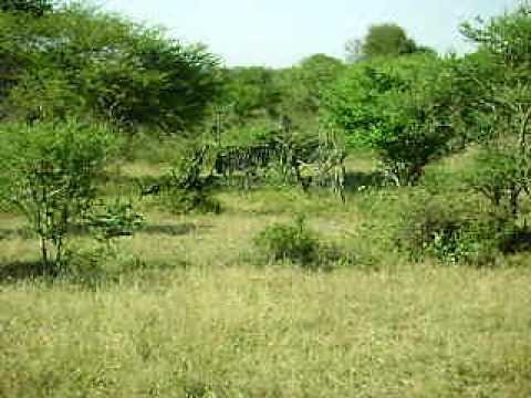 Zebras in Kruger National Park South Africa