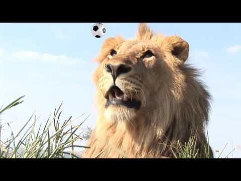 Sample HD Stockshot lion with football 2010