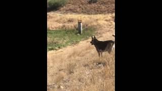 Mad coyote yells at German shepherd