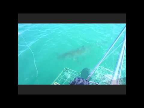 White Shark cage dive