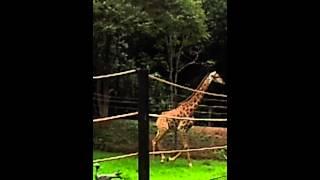 Girafa Correndo.