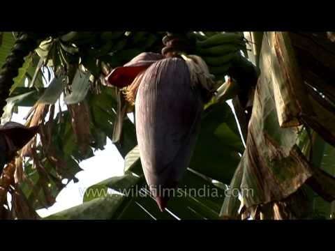 Banana blossom or heart – Edible banana flower in Karnataka