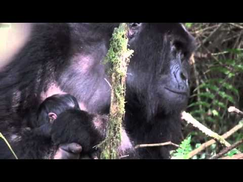 Rwanda Gorilla Trekking Day 1 – Hirwa Group – Twin Baby Gorillas