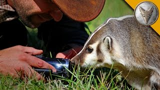 The Badger Whisperer - Face to Face with the American Badger!